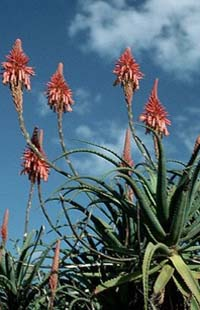 Алоэ вера. Aloe barbadensis. Алоэ истинное